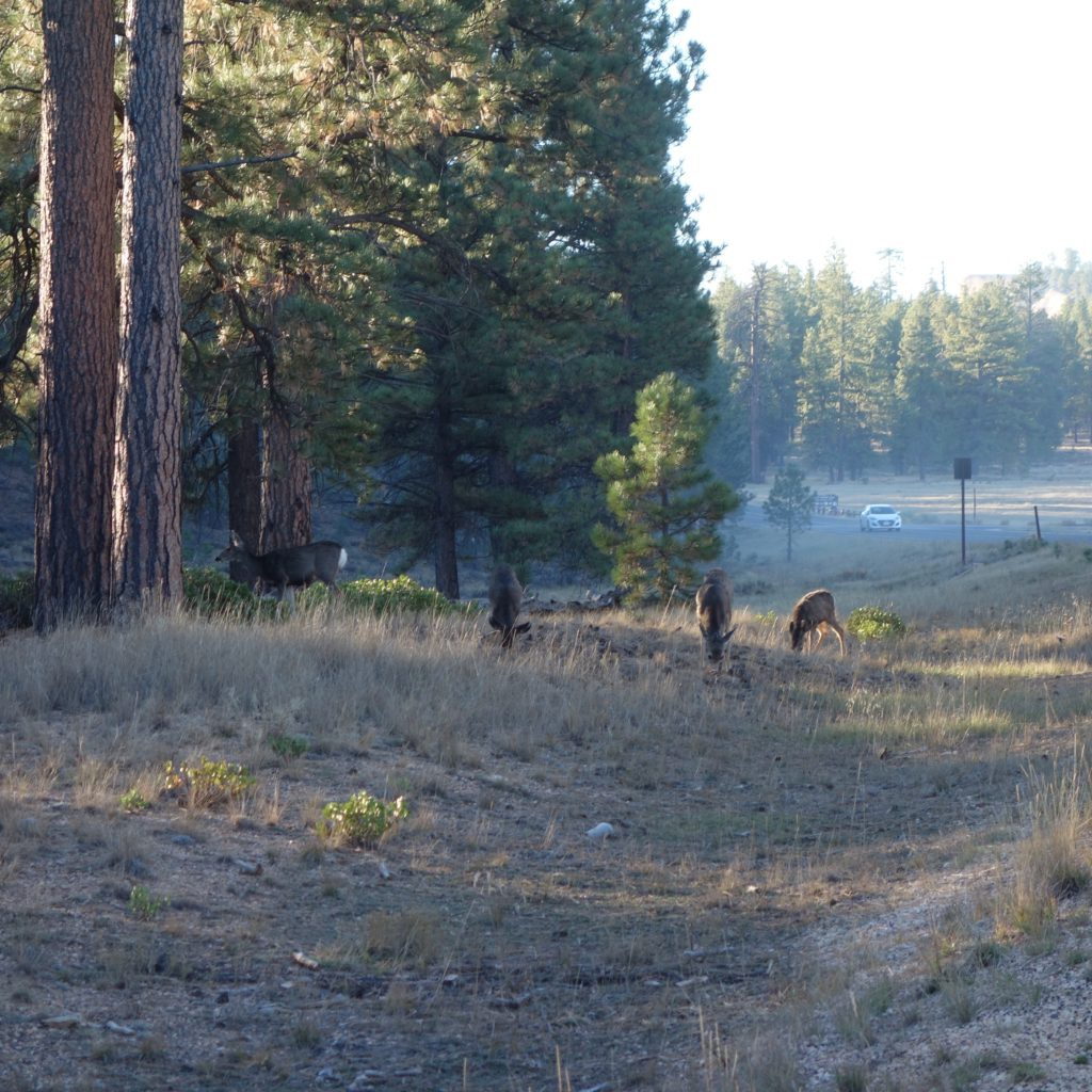 Deer eating breakfast at Bryce Canyon