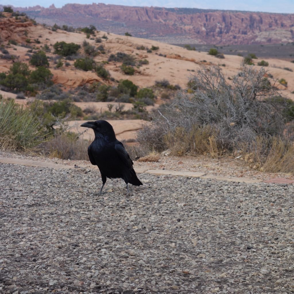 A crow that followed me hiking all day at Arches National Park. I think his name was Henry.
